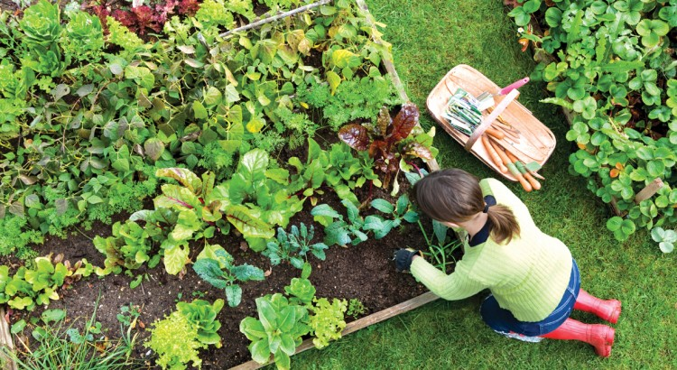 Birds eye view of a woman gardener weeding an organic vegetable garden with a hand fork