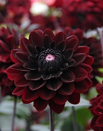 Burgunday dahlias