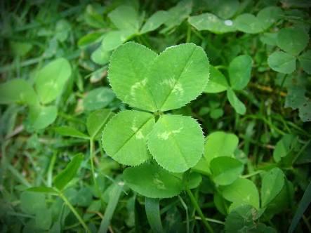Lucky four leafed clover
