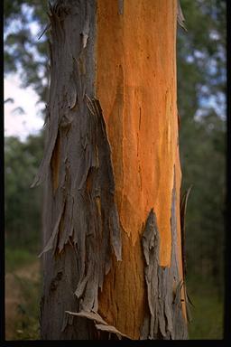 Image of Eucalyptus Degupta Mindanao Gum Tree