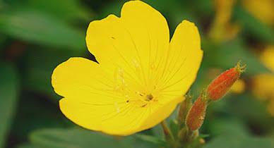 Evening Primrose flower