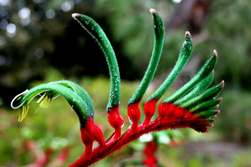 Native kangaroo paw