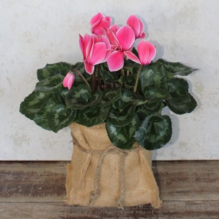 Gift Wrapped Cyclamen Plant