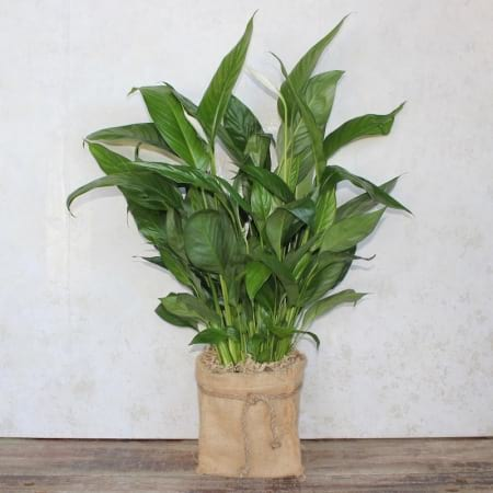 Peace Lily Potted Plant