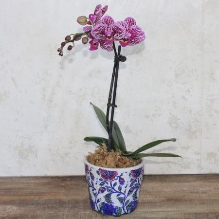 phale plant, potted plant, orchid plant, florist with flowers, fresh flowers, send plant sydney, sydney florist, carlingford florist
